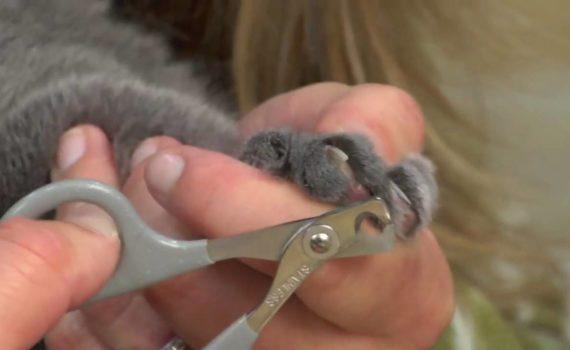 Comment couper les griffes de votre chat ?