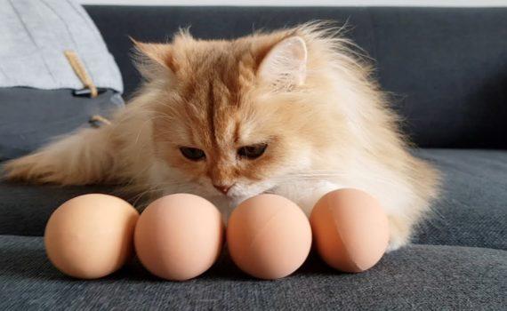 Les chats peuvent-ils manger des œufs ?