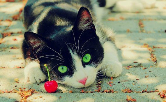 Les chats peuvent-ils manger des cerises ?