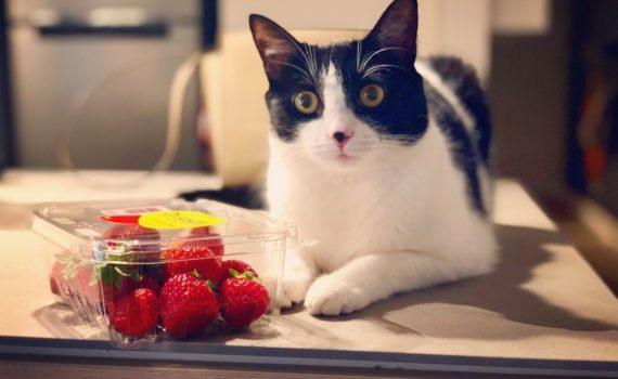 Les chats peuvent-ils manger des fraises ?