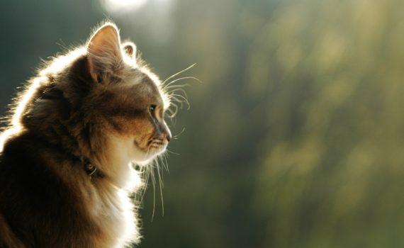 Liste des 77 races de chats