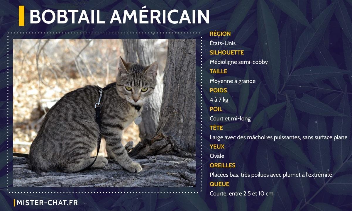 bobtail américain