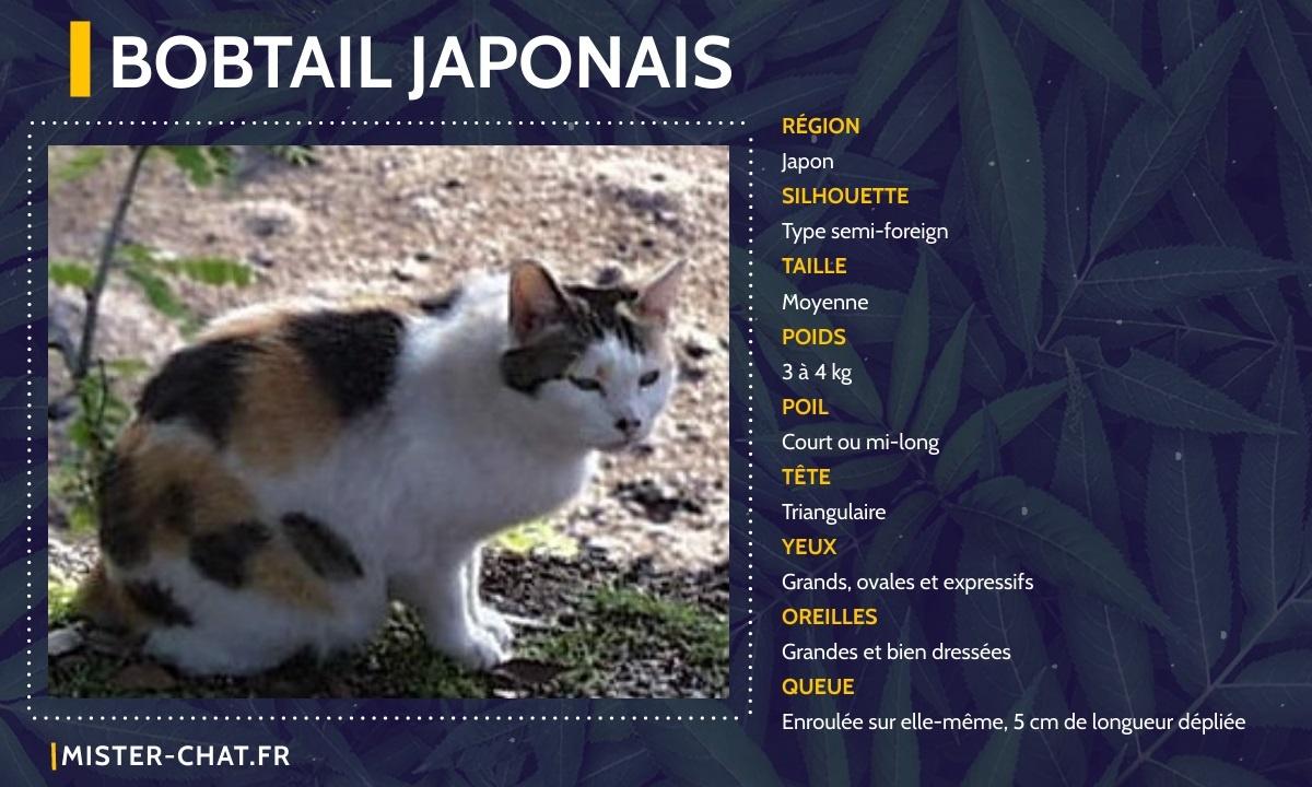 bobtail japonais
