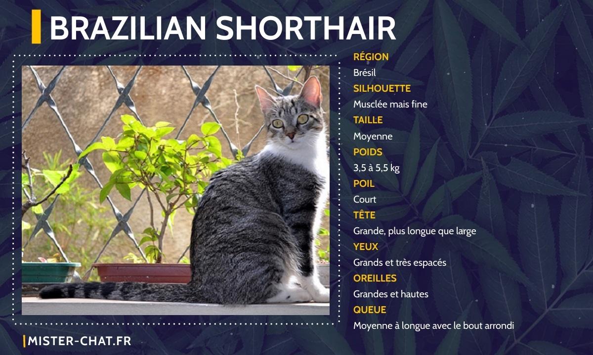 brazilian shorthair