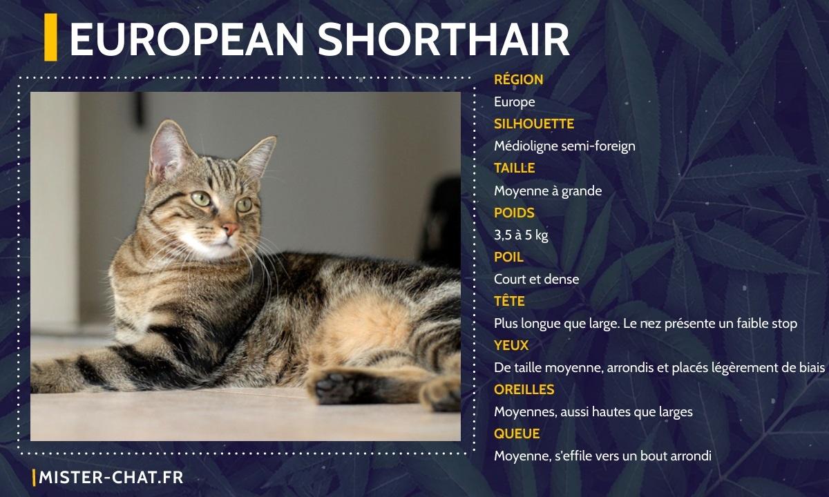 european shorthair