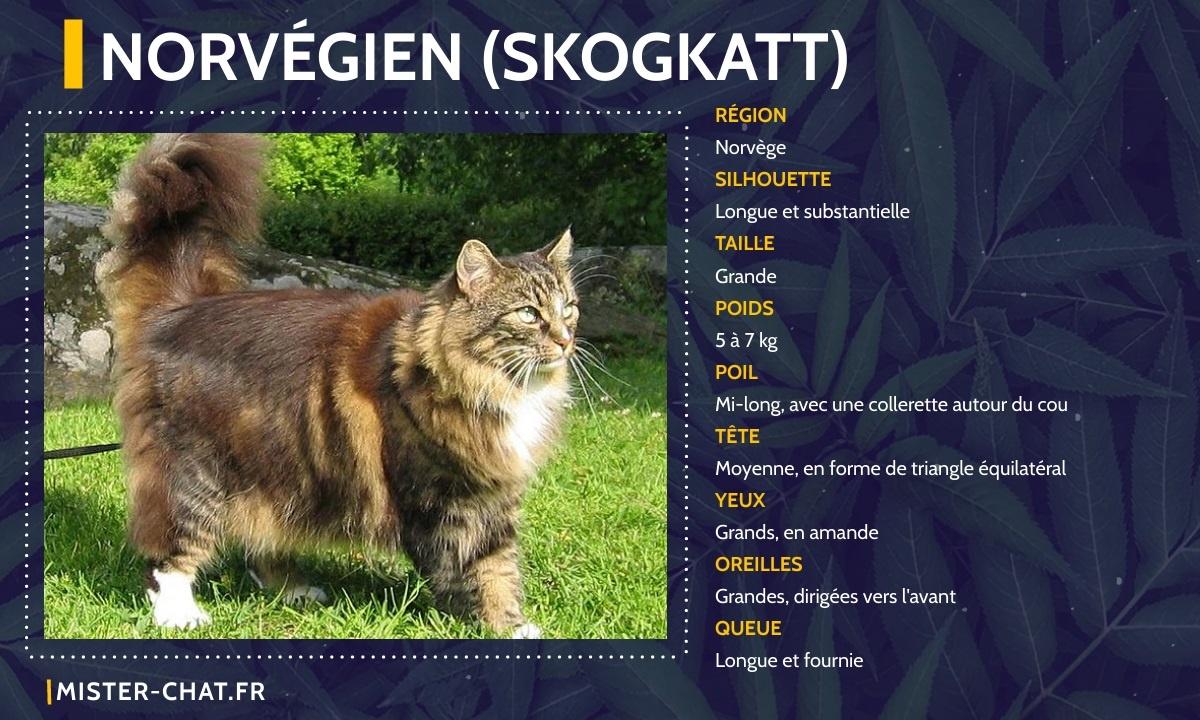 norvégien skogkatt