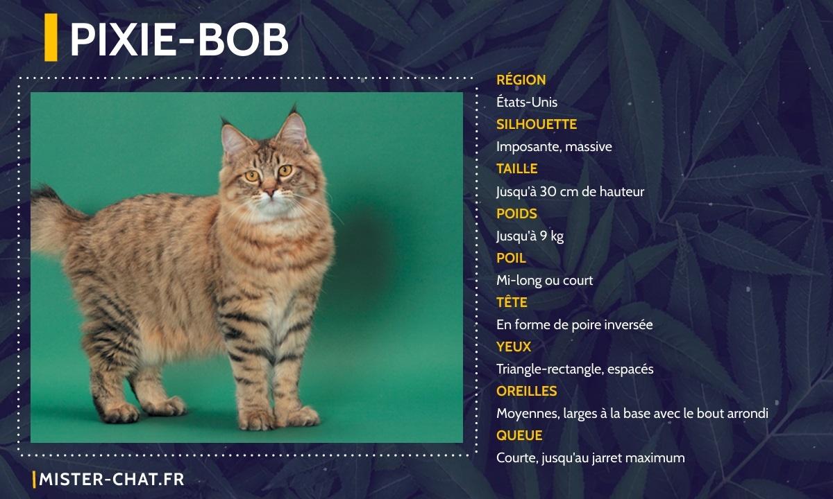 pixie bob