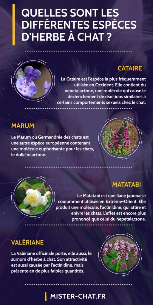 quelles sont les différentes espèces d'herbe à chat - infographie