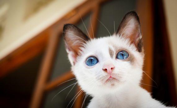Pourquoi les chats miaulent-ils ?
