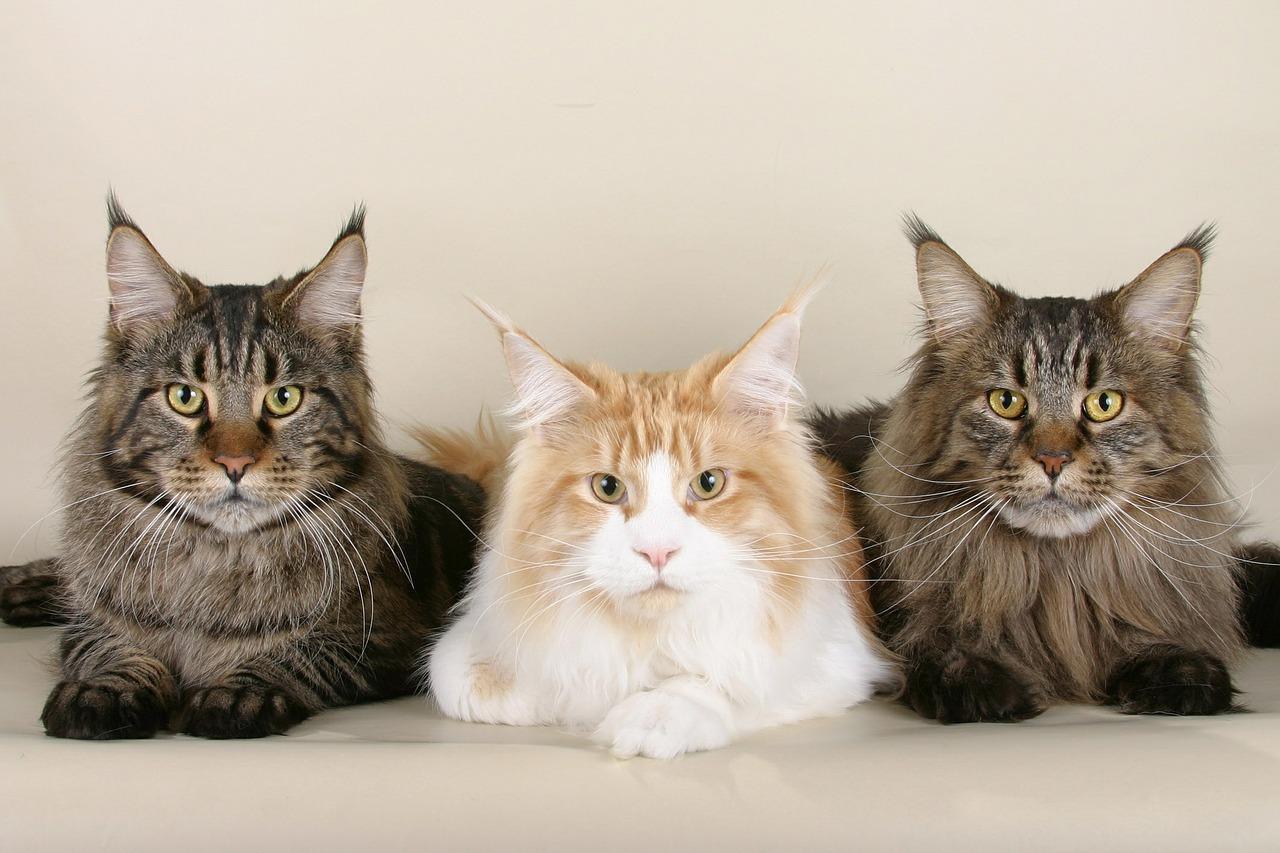 Pourquoi les chats ronronnent-ils ?